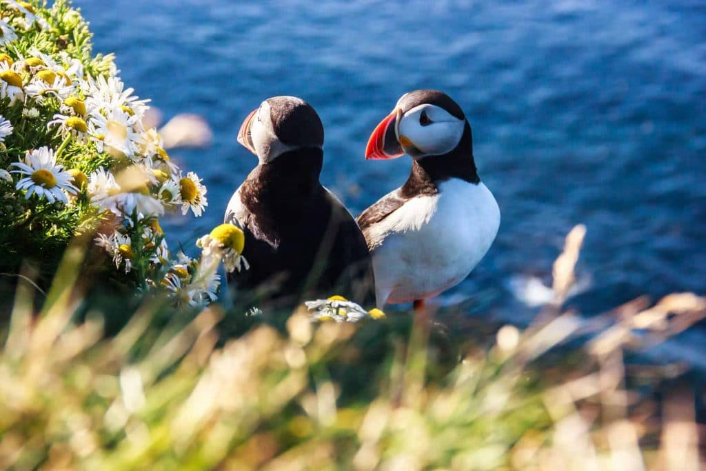 Puffin Watching Iceland