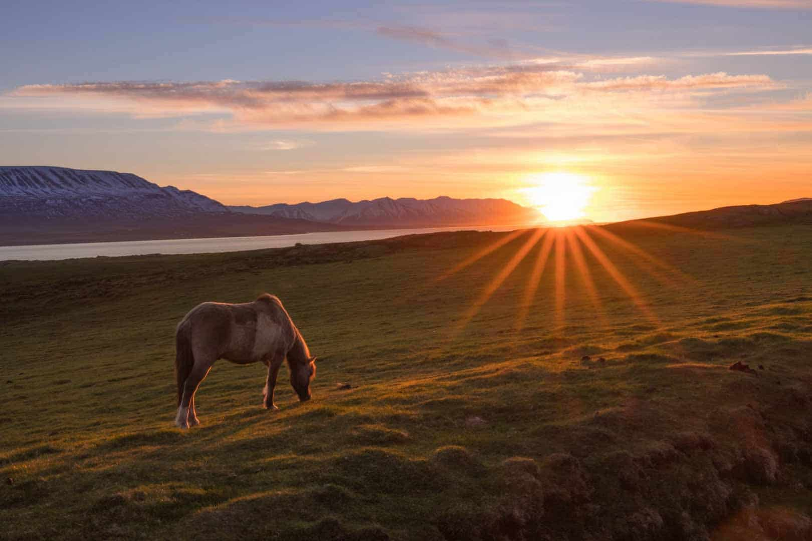 An Icelandic Horse Eating Grass During The Sunset Along Iceland's Golden Circle